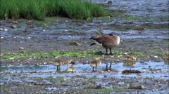 Baby canadian goose Stock Footage