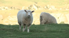 Sheep on a hilly farm Stock Footage