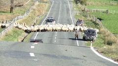 Sheep cross road Stock Footage