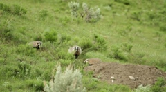 Badger Family 01 Stock Footage