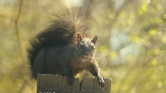 Squirrel faces the camera. - stock footage