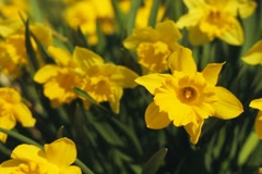 Spring daffodils. SD. Stock Footage