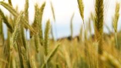 Wheat 2 Stock Footage