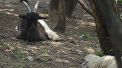 Goat eating Stock Footage