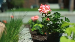 Planting geranium in a flowerbed. Stock Footage