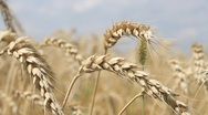 Stock Video Footage of Wheat, Close up