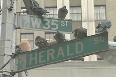 Pigeons sitting on street signs in Manhattan Stock Footage