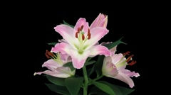 Stereoscopic 3D time-lapse of opening pink lily (left eye) 5a Stock Footage