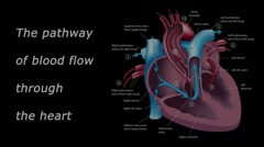 Blood flow through the heart tutorial Stock Footage