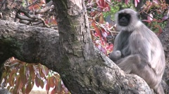 Mother monkey and baby take a rest in a tree in India Stock Footage