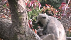 Mother and baby monkey, watching into the camera lense Stock Footage