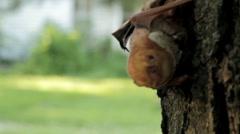* Rare * Bat - Nursing on tree with Baby Stock Footage
