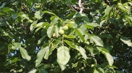 Stock Video Footage of walnuts