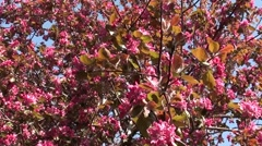 Pink blossom of plum free Stock Footage