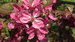 A bee on plum blossom Stock Footage