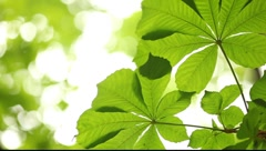 Chestnut leaf isolated against bright background Stock Footage