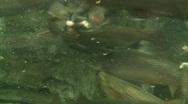 Stock Video Footage of Feeding the fish in Aquarium