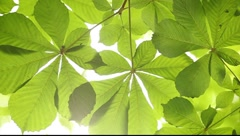 Translucent chestnut leaves on the shining background - stock footage