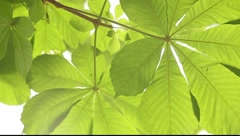 Close up view to the semitransparent chestnut tree leaf - stock footage