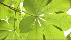 Diaphanous chestnut tree leaf Stock Footage