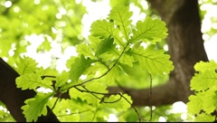 Bright green translucent oak tree leaves on the bright background - stock footage