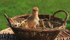 Baby Chick Stock Footage