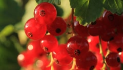 Red Currant Berries Stock Footage