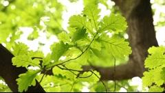 Rain and oak tree leaves Stock Footage