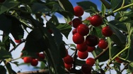 Ripe Red Cherries Stock Footage
