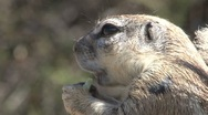 Stock Video Footage of Big squirrel, South Africa Wildlife