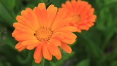 Marigold Stock Footage