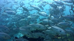 Huge school of bigeye trevally (Caranx sexfasciatus) on top of Liberty Wreck 2 - stock footage