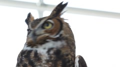 Close up of owl eyes looking around Stock Footage