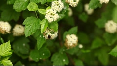 Bumblebee on the spirea flowers Stock Footage