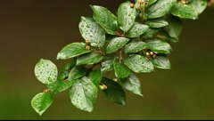 Bush branch with wet leafs Stock Footage