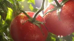 Tomatoes on the vine - stock footage