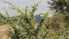 African Thorn Bush  (HD) Stock Footage
