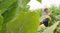 Farmer picking tobacco in the field Stock Footage