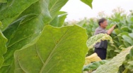 Stock Video Footage of Farmer picking tobacco in the field