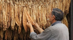 Drying Tobacco Stock Footage