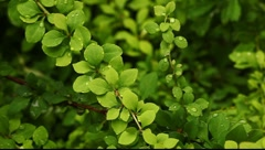 Small wet leafs on the bush Stock Footage