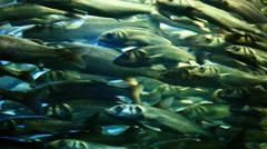 Herring under water Stock Footage