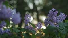 Lilacs Stock Footage