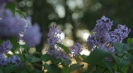 Stock Video Footage of Lilacs