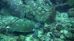 2 hawksbill turtle (Eretmochelys imbricata) talking to each other 4 Stock Footage