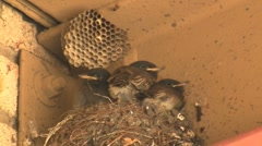Black Phoebe Nestlings In Nest Stock Footage
