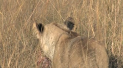 Lion with Meat in Mouth Stock Footage