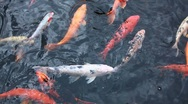 Stock Video Footage of carp in the pond