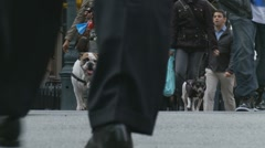 Dogs walkies, NYC Stock Footage