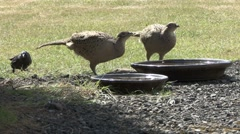 Two hen Pheasants drink from a bowl of water. Stock Footage